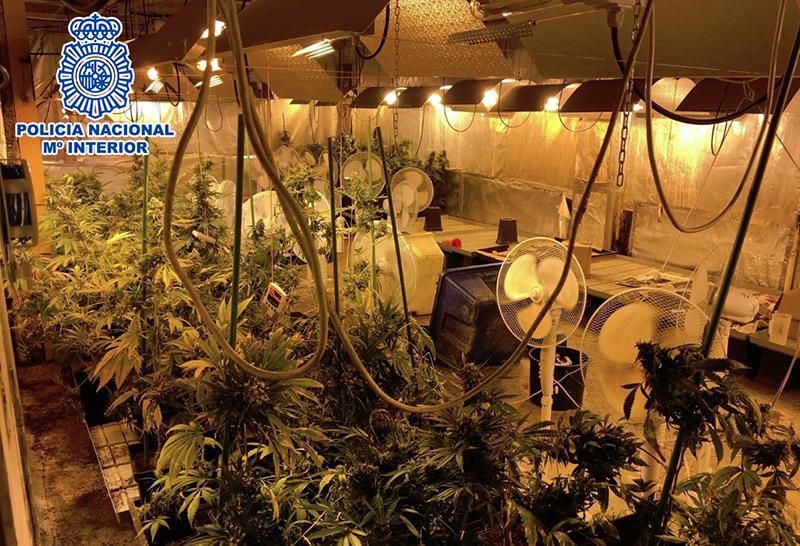 Imagen de archivo de una plantación de marihuana. Foto: Policía Nacional