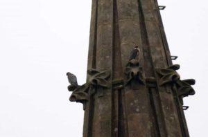 halcon2 300x198 - El Buen Pastor pierde a la pareja de halcones peregrinos que anidaba en su torre