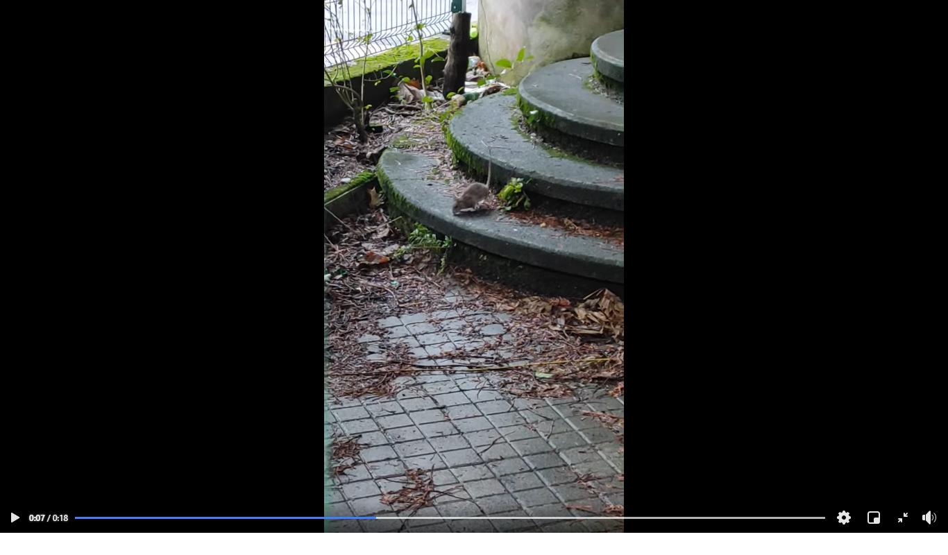 Ratas en Larratxo. (Vídeo en el interior)